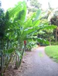 Heliconia caribaea   - 