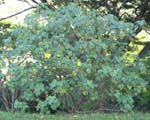 Hibiscus brackenridgei subsp. brackenridgei  - 