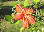 Hibiscus kokio subsp. saintjohnianus  - Orange flowering