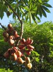 Sterculia foetida   - Ripe fruit splitting to show seeds