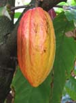 Theobroma cacao   - Mature fruit