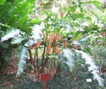 Heliconia wagneriana   - Habit, flowering plant