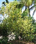 Bakeridesia integerrima   - Habit, flowering plant