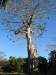 Adansonia digitata   -