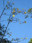 Cochlospermum vitifolium   - Flowering branches