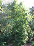 Gnetum gnemon   - 