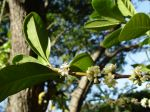 Coffea mauritiana   - Flowering branch and leaves
