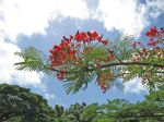 Delonix regia   - flowers
