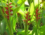Heliconia caribaea   - flower