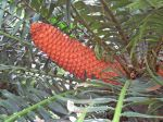 Encephalartos gratus   - Fruiting cone