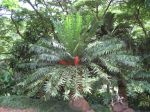 Encephalartos gratus   - 
