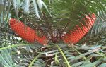 Encephalartos gratus   - Female with fruiting cones