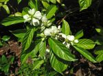 Morinda latibracteata   - Flowering branch