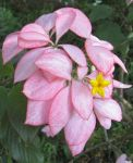 Mussaenda   'Queen Sirikit' - Flowering branch