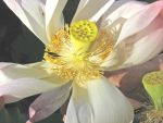 Nelumbo nucifera   - Open flower