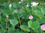 Nelumbo nucifera   - Leaves, flowers, fruits