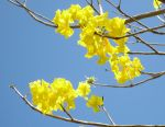 Tabebuia serratifolia   - Flowering branch