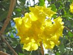 Tabebuia serratifolia   - Flowers