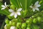Scaevola taccada   - Flowers and fruits