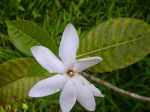 Gardenia oudiepe   - Flowering Stem