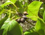 Cordia subcordata   - Branch with ripe fruit