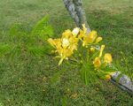 Delonix regia   - Branch with leaves and flowers, yellow form