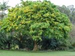 Pterocarpus indicus   - Habit, tree in flower