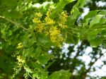 Pterocarpus indicus   - Flowering branch