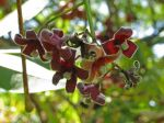 Sterculia foetida   - Flowers
