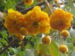 cochlospermum vitifolium   meet the plants   national