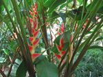 Heliconia wagneriana   - Habit