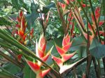 Heliconia wagneriana   - Clump with multiple inflorescences
