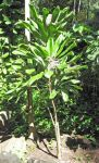 Cordyline fruiticosa   - Habit