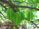 Averrhoa carambola   - Green fruit