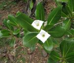 Bikkia tetrandra   - Flowers and leaves on branch