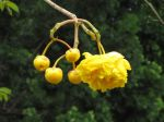 Cochlospermum vitifolium   - Inflorescence with buds and flower