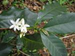 Coffea arabica   - Flowers with leaves