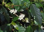 Coffea arabica   - Leaves, flowers and buds