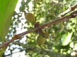 Coffea mauritiana   - Green fruit on branch