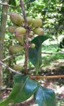 Coffea mauritiana   - Fruit cluster