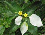 Mussaenda raiateensis   - Leaf, flower and sepal detail