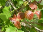 Kokia kauaiensis   - Bracts with unopened corolla
