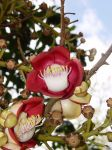 Couroupita guianensis   - Flowers and buds