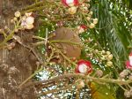 Couroupita guianensis   - Tree trunk with formed fruit and flowers on tree trunk