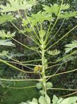 Carica papaya   - Top of plant with young fruits, flowers