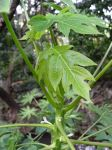 Carica papaya   - New leaves and hermaphroditic flowers