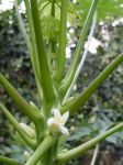 Carica papaya   - Female flower and buds
