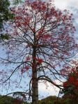 Brachychiton acerifolius   - Habit, tree in flower