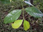 Gnetum gnemon   - Leaf detail
