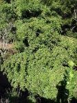 Manilkara zapota   - Tree habit as viewed from above